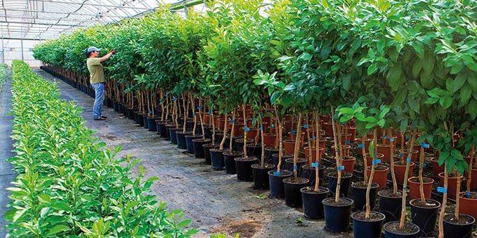 Viveros sancho hnos frutales olivos c tricos y for Viveros de plantas en lima