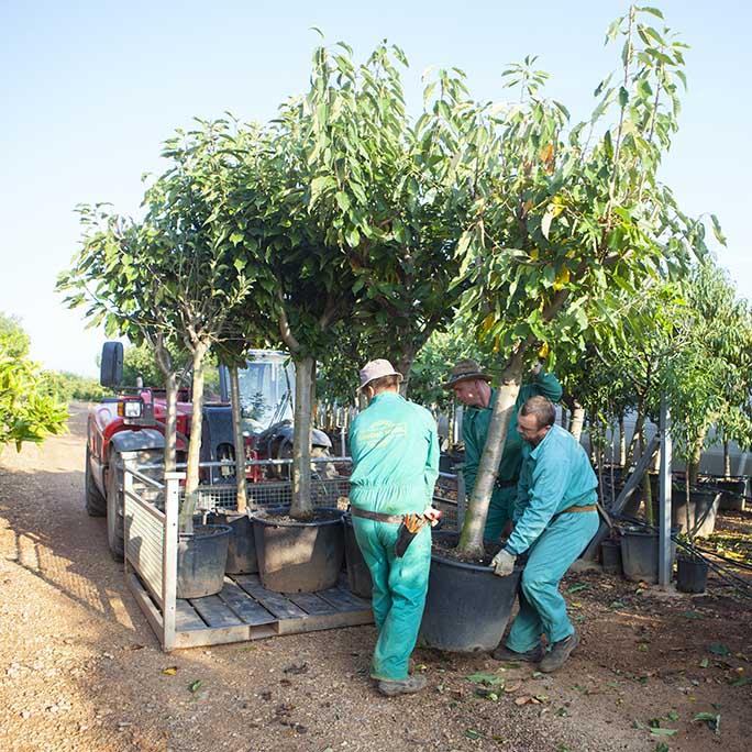 Plantones de olivos precios great ya plante plantones de for Viveros de arboles frutales en chihuahua