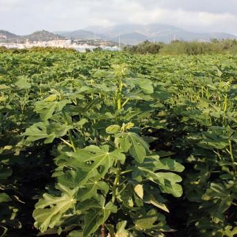 Higueras (Ficus Carica)