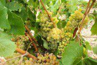 Parras para uva de mesa