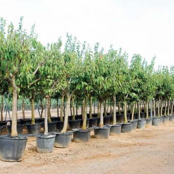 Cerezos (Prunus Avium)
