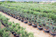 Olivos (Olea Europea)