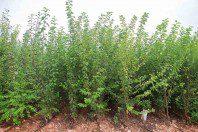 Ciruelos (Prunus Domestica)