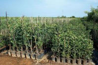 Algarrobos (Ceratonia Siliqua)