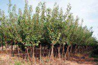 Albaricoqueros (Prunus Armeniaca)