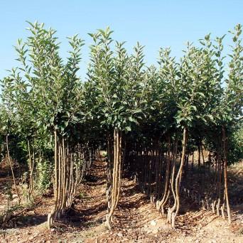 Manzanos (Malus Domestica)