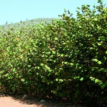 Avellanos (Corylus Avellana)