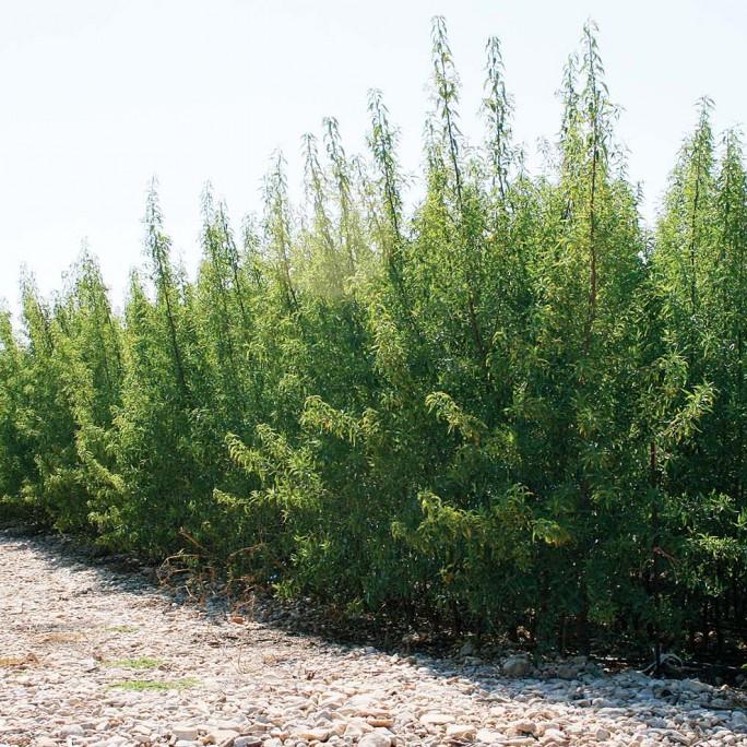 Almendros (Prunus Dulcis)