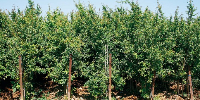 Granado (Punica Granatum)