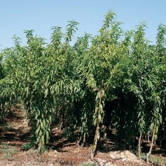 Nectarinas (Prunus Nucipersica)