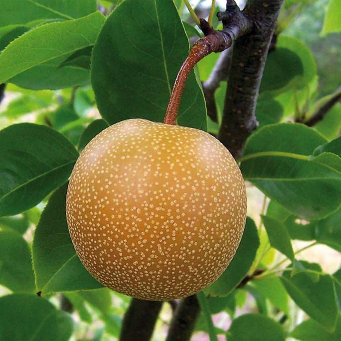 Nashis (Pyrus Pyrifolia)