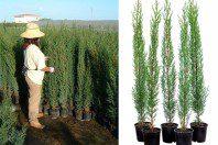 Plantas ornamentales