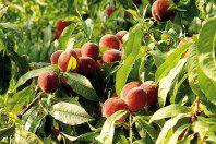 Melocotoneros (Prunus Persica)